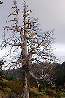 Greece, Pindos Mountains, Pindos NP, Valia Calda, Dry Balkan Pine tree in Valia Calda