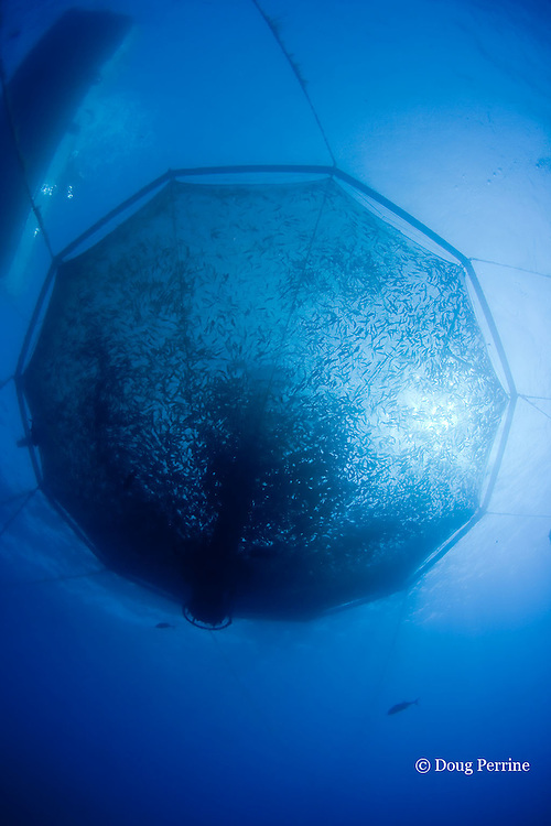 Kona Blue Water Farms open ocean aquaculture pen, with Kona kampachi or Almaco jacks, Seriola rivoliana, inside, Keahole, Kona Coast, Hawaii Island ( the Big Island ) Hawaii, U.S.A. ( Central Pacific Ocean )