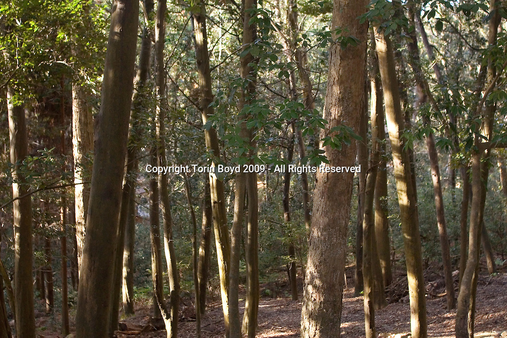 This is the Kasugayama Primeval Forest which surrounds the Kasuga Grand Shrine, or Kasuga Taisha, the historic Shinto shrine located in the ancient city of Nara, Japan. Photo taken Dec 17, 2009.