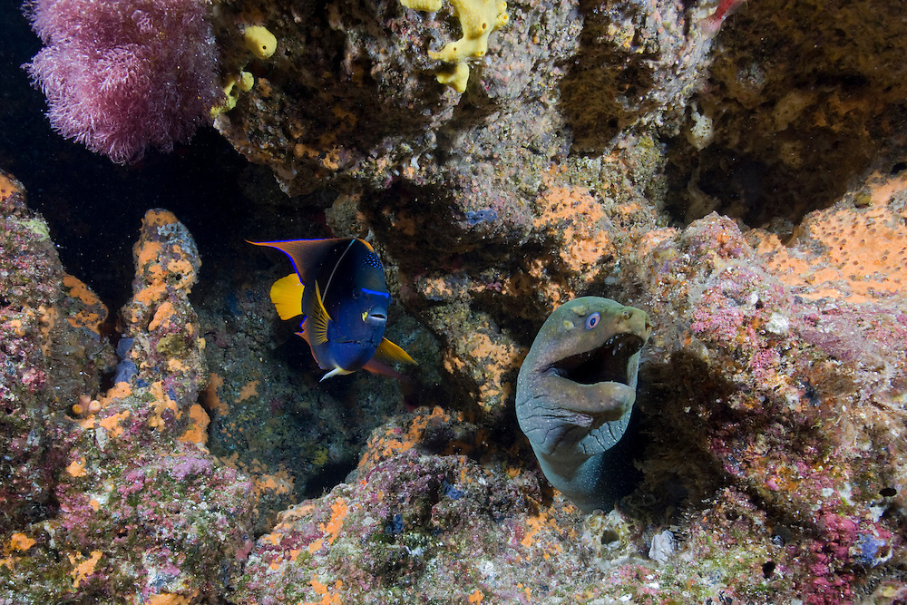 Ecuador, Galapagos Islands National Park,  Wolf Island, Underwater view of Spotted Moray Eel (Gymnothorax moringa) and King Angelfish (Holacanthus passer)