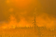 Young spruce tree in fog at sunrise<br />Near Sioux Narrows<br />Ontario<br />Canada