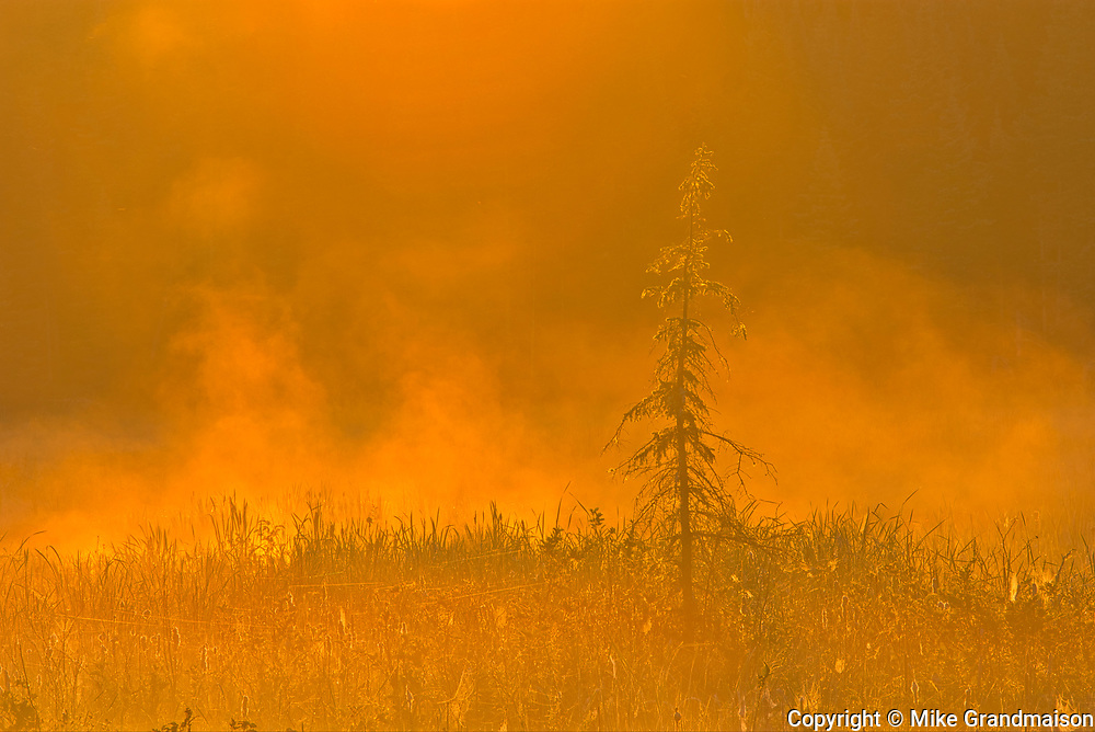 Young spruce tree in fog at sunrise<br />