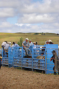 rodeo cowboys prepare their animals and discuss tactics in the rodeo chutes at Hellensville Rodeo, Auckland, New Zealand