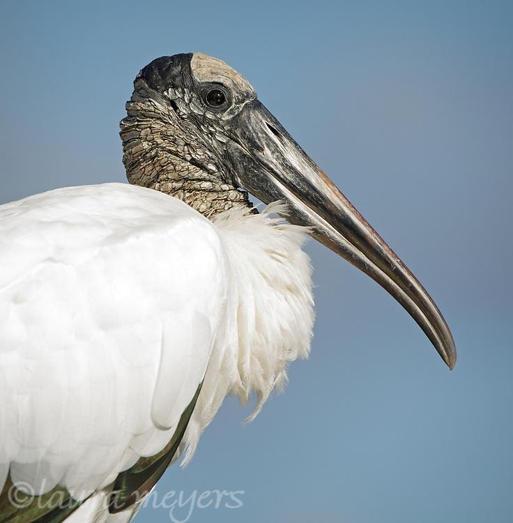 Handsome Wood Stork Portrait against blue sky at Wakodahatchee Wetlands near Palm Beach Florida.