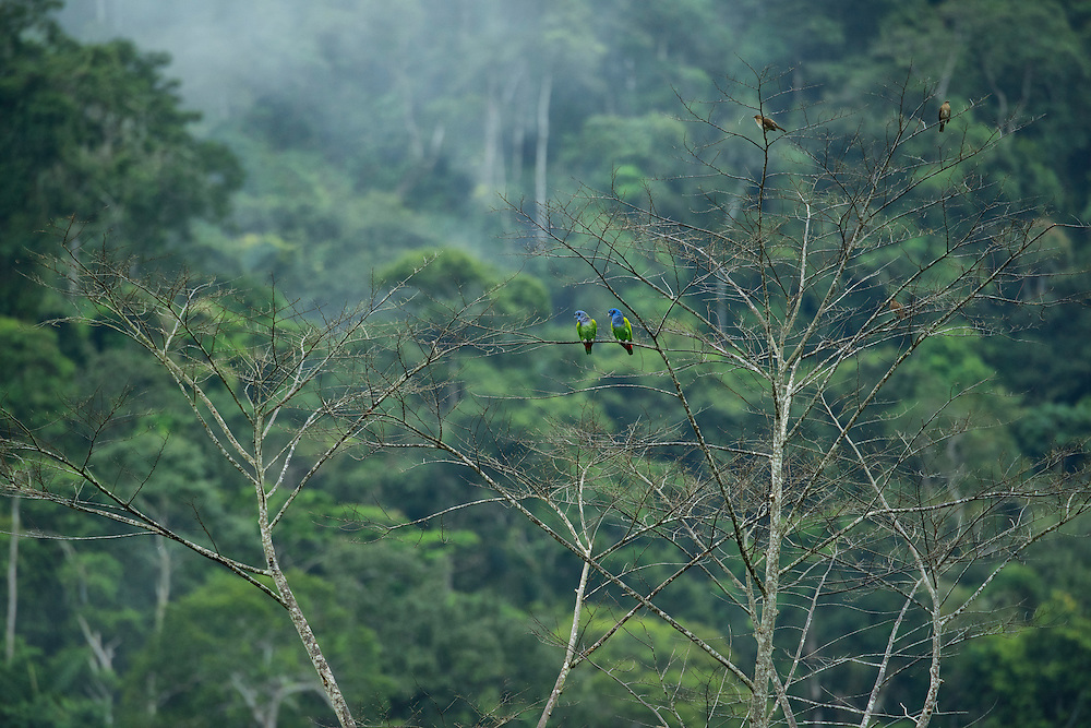 South America, Peru, Amazonia,South Manu National Park , UNESCO World Heritage, Parrots in rainforest