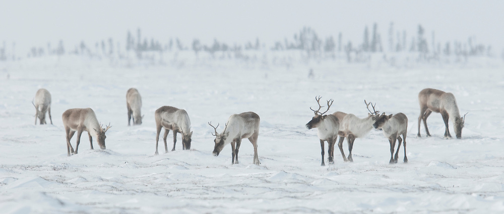 Barren Ground Caribou in Wapusk National Park, Manitoba, Canada.