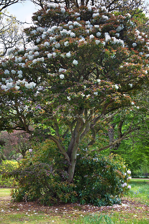 Rhododendron decorum (great white rhododendron) in flower by Mount Stuart house