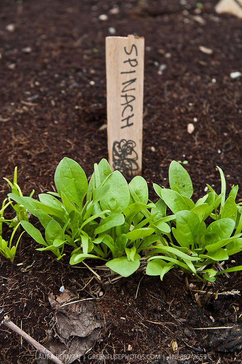 Baby spinach in the garden.