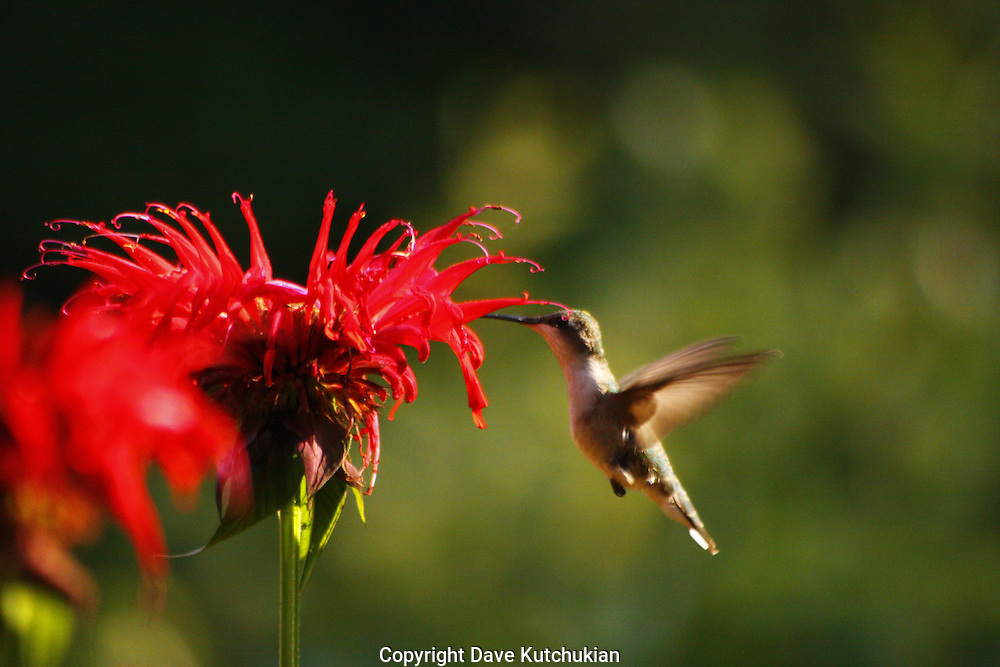 female humming bird feeds on beebaum