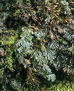 Tunbridge Filmy Fern - Hymenophyllum tunbridgenis