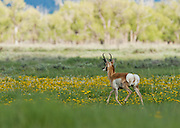 A pronghorn wanders off into a meadow, flashing his heart-shaped white rear