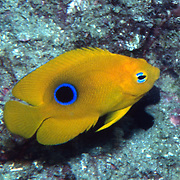 Rock Beaudy juveniles inhabit reefs and surrounding areas, usually hiding in recesses in reef in Tropical West Atlantic; picture taken Grand Cayman.