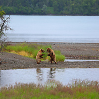 USA, Alaska, Katmai. Adolescent Grizzly bears sparring by river.