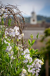 Lathyrus odoratus 'Betty Maiden'. Sweet peas growing up a birch support with Parham House clock tower beyond