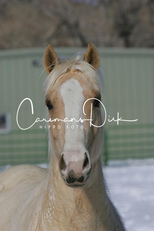Paint horses<br /> Elk Ridge Ranche Colorado<br /> © Hippo Foto - Bob Langrish