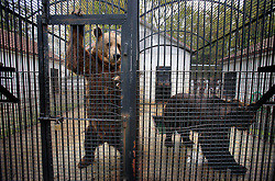 ROMANIA ONESTI 26OCT12 - Two captive Eurasian brown bears at the defunct Onesti zoo. ..The zoo has been shut down due to non-adherence with EU regulations on the welfare of animals.......jre/Photo by Jiri Rezac / WSPA......© Jiri Rezac 2012