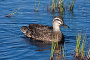Grey Duck, also known as the Pacific Black Duck, New Zealand