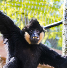 2017-05-25 New ape exhibit to open for May half-term at ZSL London Zoo