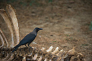 House crow (Corvus splendens)<br /> National Chambal Sanctuary or National Chambal Gharial Wildlife Sanctuary<br /> Madhya Pradesh, India