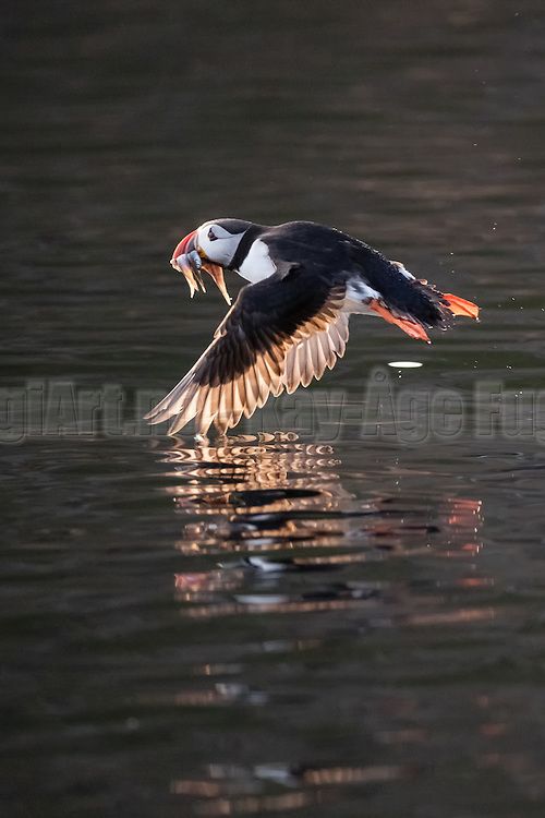 Puffin in flight with fish in it's beek | Lundefugl i flukt med fisk i nebbet