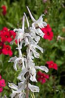 Prairie Larkspur, (Delphinium carolinianum), Gonazlez County, TX