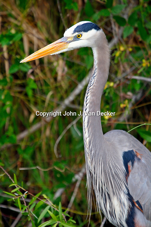 Great Blue Heron in breeding plumage, Everglades National Park, Florida