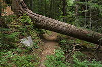 Large conifer log across Chilliwack River Trail North Cascades Nartional Park