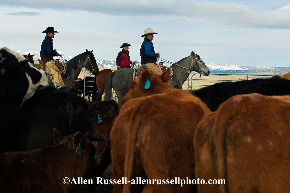 Cowboys sorting Angus cows and calves for branding, Wilsall, Montana, Bridger Mountains, MODEL RELEASED, PROPERTY RELEASED