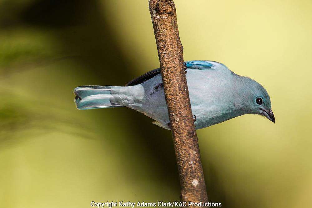 Blue-gray tanager; Thraupis episcopus, Inkaterra Machu Picchu; Inkaterra Machu Picchu Pueblo Hotel; Peru;  Augas Calientes;