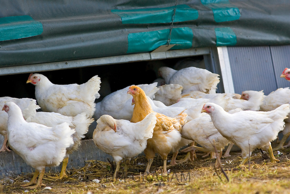 Free-range chickens of breed  Isa 257 return to their roosting house after roaming freely at Sheepdrove Organic Farm , Lambourn, England