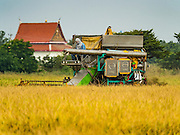 """23 NOVEMBER 2016 - AYUTTHAYA, THAILAND: A worker passes a temple while operating a rice harvester during the rice harvest in Ayutthaya province, north of Bangkok. Rice prices in Thailand hit a 13-month low early this month. The low prices are hurting farmers. Rice exports account for around 10 percent of Thailand's gross domestic product, and low prices frequently lead to discontent in the rural areas of Thailand. The military government has responded by sending soldiers to rice mills, to """"encourage"""" mill owners to pay farmers higher prices. The Thai army and navy are also buying for their kitchens directly from farmers in an effort to get more money into farmers' hands.  PHOTO BY JACK KURTZ"""