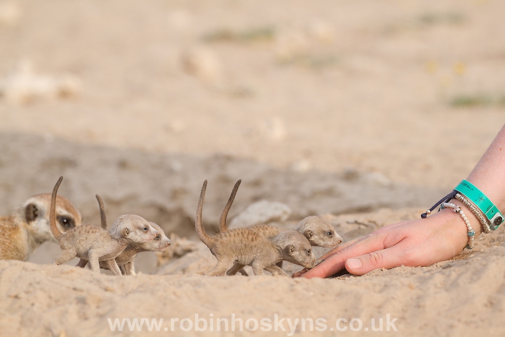A researcher allows young pups to sniff her hands. Habituation starts as soon as the pups emerge from the burrow for the first time. At the Kalahari Meerkat Project.