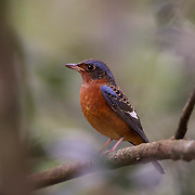 The white-throated rock thrush (Monticola gularis) is a species of bird in the family Muscicapidae of the order Passeriformes