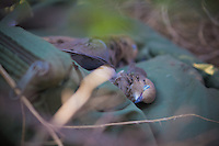 HARVESTED MOURNING DOVE