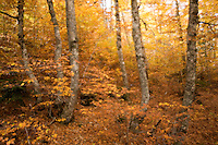 Greece, Pindos Mountains, Pindos NP, Valia Calda, Beech forest, Double exposure,