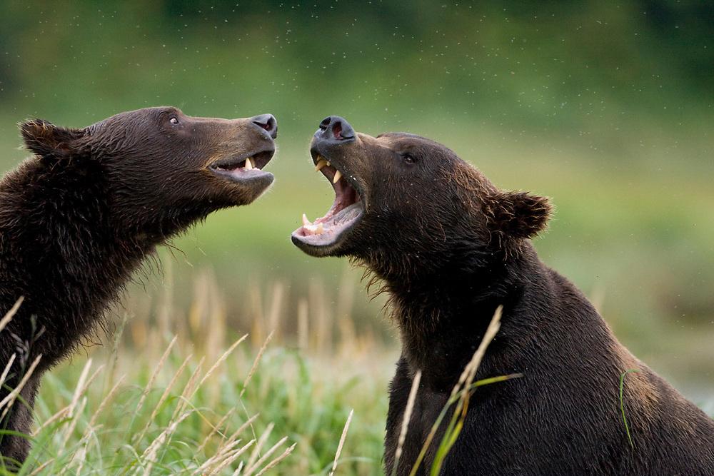 USA, Alaska, Katmai National Park, Brown Bear (Ursus arctos) sparring along  Kukak Bay in late summer