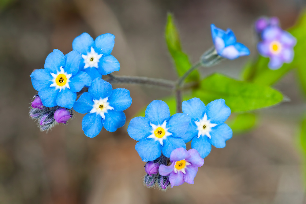 Closeup of Alpine Forget-Me-Not (Myostotis alpestris ssp. asiatica) in Chugach State Park, Eagle River in Southcentral Alaska. Spring. Morning.