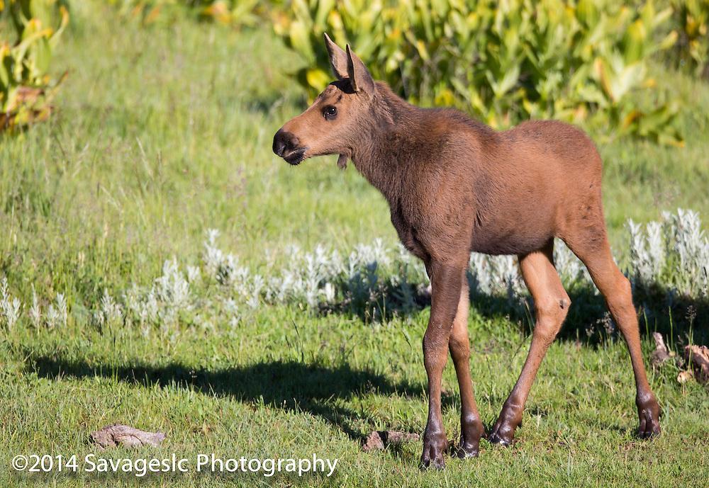 Moose calf. Near Bear Lake Utah/Idaho 2014