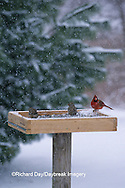 00585-01015  White-crowned Sparrows immature  &  Northern Cardinal male at tray feeder in winter Marion Co.  IL