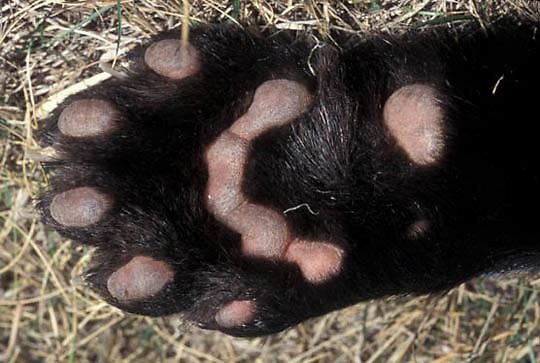 Wolverine, (Gulo gulo) Underneath side of paw.  Captive Animal.