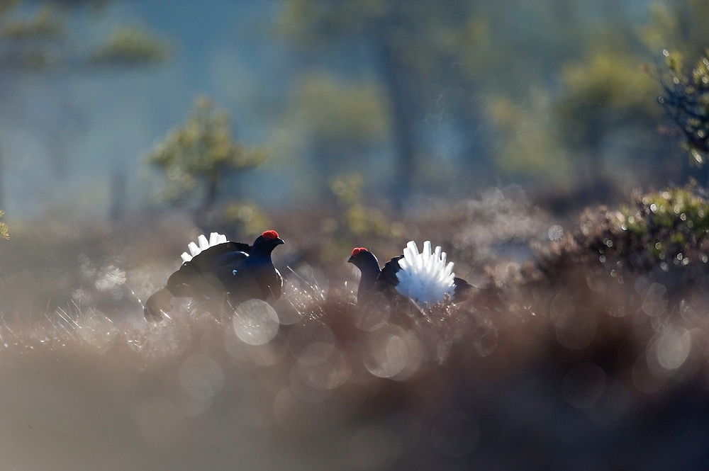 11.04.2009.Black Grouse (Tetrao tetrix) displaying on a bog. Fighting. Lekking behaviour. Courting. Frost..Bergslagen, Sweden.