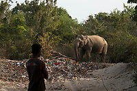 Man watching elephant eating from pile of trash left by temple celebrations at Okanda beach, Sri Lanka