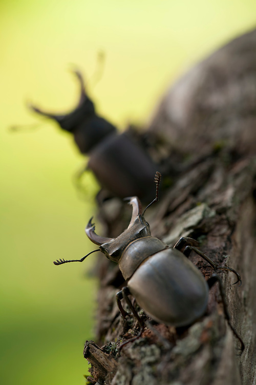 Stag Beetles in wood