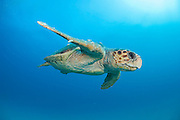 Loggerhead Sea Turtle swims offshore Palm Beach County, Florida.