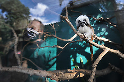 South Africa - Cape Town - 5 May 2020 - Hendrik Louw inspects the Cotton top Tamarin enclosure. The World of Birds in Hout Bay are suffering serious financialdamage as visitors are not permitted to visit the sanctuary during Lockdown Level 4. Their staff still need to maintain the facility and feed all the park's animals. They have started a Back a Buddy campaign https://www.backabuddy.co.za/world-of-birds-wildlife-sanctuary-campaign to help them survive these troubled times. Photographer: Armand Hough/African News Agency(ANA)
