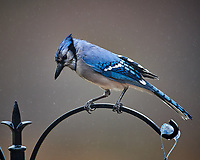 Blue Jay at the Bird Feeder. Image taken with a Nikon D5 camera and 600 mm f/4 VR telephoto lens.