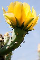 Prickly Pear Cactus, Mason County, TX