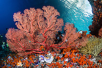 Sea Fans thrive in the heavy current area created by the natural arch  and overhang of this small island<br /> <br /> Shot in Raja Ampat Marine Protected Area West Papua Province, Indonesia