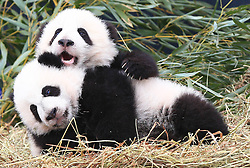 Giant panda twin cubs Jia Panpan (back) and Jia Yueyue play at the Toronto Zoo in Toronto, Canada, on March 7, 2016. The Toronto Zoo officially revealed the names of the first Canadian-born twin giant panda cubs on Monday: Jia Panpan (meaning Canadian Hope) for the male cub and Jia Yueyue(meaning Canadian Joy) for the female cub. Their mother, Er Shun, is on loan from China along with a male giant panda named Da Mao in 2013. EXPA Pictures © 2016, PhotoCredit: EXPA/ Photoshot/ Zou Zheng<br /> <br /> *****ATTENTION - for AUT, SLO, CRO, SRB, BIH, MAZ, SUI only*****