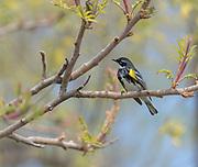 Yellow-rumped warbler, Myrtle warbler, Audubon's warbler, Dendrocia coronata,  Magee Marsh Wildlife Area, Oregon, Ohio